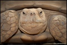 ~~ African Spurred Tortoise ~~