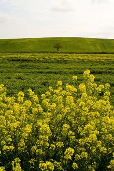 Tavoliere   Photograph Tavoliere, Apulia, Italy, Wheat fields and flowers by ...