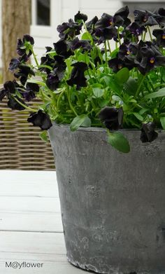 Black pansies...LOVE  I planted mine about 15 days ago and they are coming along well!