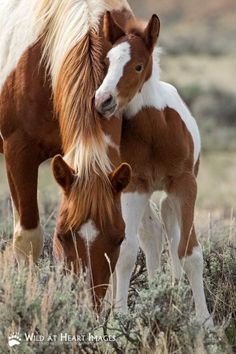 Grazing Pinto mare with her cute foal.