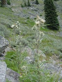 Edible wild plants of North America