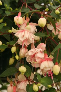 "Fuchsia ""Harry Gray"""
