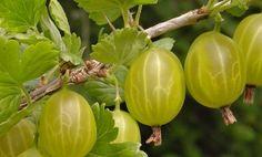 Doctorul Plantelor: Cum se taie Agrisul,explicatie simpla Rhubarb Tart, Flora, Berries, Gardening, Rhubarb Pie, Lawn And Garden, Plants, Bury, Horticulture