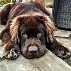 21 Stunning Photos Of Newfoundlands And Labradors : These gentle furry giants just want to love you. 21 Stunning Photos Of Newfoundlands And Labradors Brown Newfoundland Dog, Newfoundland Puppies, Cute Puppies, Cute Dogs, Dogs And Puppies, Doggies, Big Dogs, I Love Dogs, Terra Nova