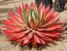 Agave 'Blue Glow'  Stressed  World of Succulents