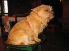 Norwich Terrier Jasper | Flickr - Photo Sharing!