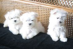 13 WEEKS TEACUP MALTESE PUPPIES FROM LACHICPATTE.COM