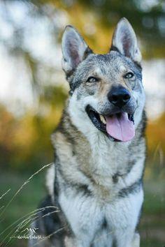 Czechoslovakian wolfdog - Angas z Vlčej hory #wolfdog #czechoslovakianwolfdog #photography #beautifullife #beautifulday #bigsmile #autumn