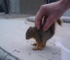 squirrel's itch being scratched    http://www.buzzfeed.com/summeranne/25-perfectly-hand-sized-baby-animals