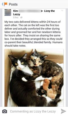 Two mother cats give birth at the same time and help one another.