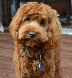 Labradoodle haircut - Why Grooming Your Dog is Very Important – Labradoodle haircut Goldendoodle Haircuts, Goldendoodle Grooming, Australian Labradoodle Puppies, Dog Haircuts, Puppy Grooming, Mini Goldendoodle, Goldendoodles, Labradoodles, Cavapoo