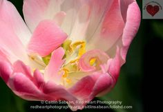 Curls. Heart Photography, Nature Images, Curls, Rose, Gallery, Flowers, Plants, Roller Curls, Pink