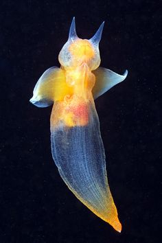Sea Angel (Clione limacina), 5 cm    … found from the surface to 350 m in depth. Distribution of Clione limacina is mostly in cold waters, as the Arctic Ocean to North Carolina, Alaska, Canada, Northern Europe in Northern Atlantic and North Pacific.  It can survive one year without food.(read more: Wikipedia)     (images: Alexander Semenov)