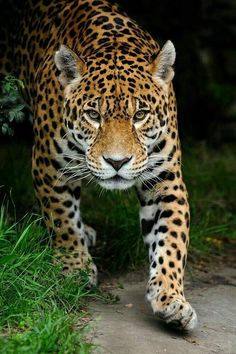 Superb Nature, beautiful-wildlife: Jaguar by iso 0815 Der Leopard, Jaguar Leopard, Jaguar Animal, Nature Animals, Animals And Pets, Baby Animals, Cute Animals, Pretty Cats, Beautiful Cats