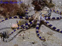 Its your funeral, and the blue-ringed octopus isn't going to pay for it. Octopus Photography, Underwater Photography, Animal Photography, Blue Ringed Octopus Facts, Kraken, Pool Images, Octopus Art, Tattoo Blog, Underwater World