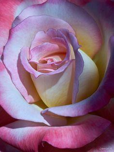 Photograph Rose by Leonid Amstibovitsky*