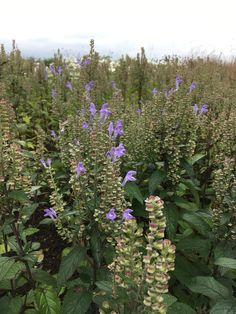 Camilla Hiley - Garden and Landscape Designer - Salisbury, Wiltshire UK Salvia, Landscape Design, Autumn, Garden, Plants, Fall, Sage, Garten, Flora