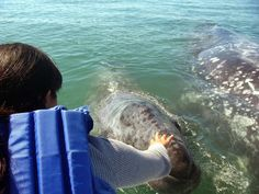 Whale calves on our Pacific coast are as friendly as pets! Lopez Mateos, Baja California Sur, Mexico.  Read more: https://medium.com/@bajabybus/is-lopez-mateos-baja-california-surs-best-kept-secret-52889cda6750