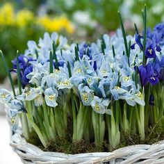 Bulbs in pots for instant garden happiness!
