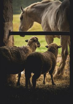 two sheep by Jen MacNeill on Flickr. #sheep
