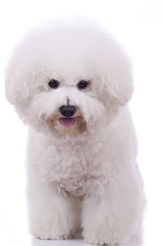 If You Ignore The Bichon Frise Temperament, You'll Hate Yourself Later.     Learn how you can get the most out of this snow white fur ball called the Bichon Frise.
