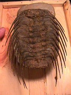Name: Selenopeltis sp. Age: Ordovician Age (450 million) Formation: Ktaoua Formation Location: Bordj, Morocco Specifics: Very Dramatic Specimen with all matrix cleaned from the spines  Size: Trilobite is 6.5 inches long  Quality - Very Good