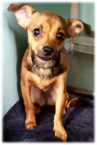 TO BE DESTROYED 03/03/2017 **NEW HOPE RESCUEONLY**  ORGANZA – A1104739  **SAFER: NEW HOPE ONLY**  FEMALE, TAN, CHIHUAHUA SH MIX, 2 yrs STRAY –