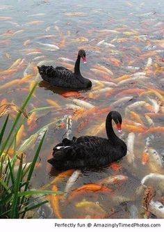 Swans and koi