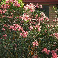 A leander mediterrán növény, viszont jól tarthatósága és szép színes virágai miatt elterjedté vált nálunk is. Fénykedvelő virág, a hőséget nagyon jól tűri, egyenesen szereti Nerium, Plants, Lawn And Garden, Plant, Planets
