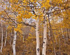 Autumn Art AN ASPEN FALL 11x14 photograph by ApplesAndOats on Etsy