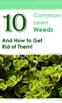 Great  Common Lawn Weeds and How to Get Rid of Them Plantains dandelions