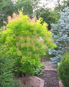 'Golden Spirit' Smoke bush/tree - Chartreuse foliage, Pink blooms in summer - zones 4-8 - Partial to Full Sun - moderate grower - Height 8ft, Width 6ft - doesn't bloom as profusely as it's others which would be good. To keep the size in control you prune back in the spring about 1/3 to 1/2 of the branches each year. The branches that weren't pruned will bloom.