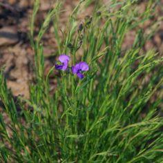 Polygala uncinata Blue Flowers, Wild Flowers, Perennials, Grass, Leaves, Plants, Flowers, Wildflowers, Grasses