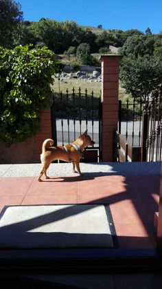Chihuahua Bainilla guardiana por instinto!!!
