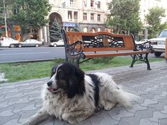 A famous street dog in Yerevan