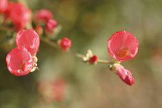 Sphaeralcea ambigua at Rancho Santa Ana Botanic Garden.   Photo taken by Barbara Eisenstein