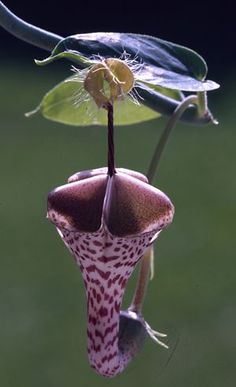 Ceropegia distincta ~I don't think this is a succulent - but it IS succulent to look at.