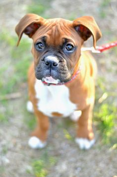 Boxer puppy what a sweet little face