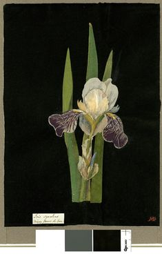 Mary Delany, paper collage artist of flowers in the 1700's Iris