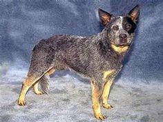 Australian Cattle Dog, Blue Heeler