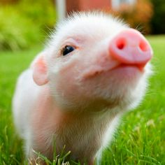 i just died a little. i WILL own a tea cup pig!