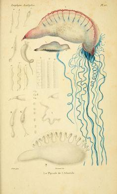 v.18 - Histoire naturelle des zoophytes. - Biodiversity Heritage Library  --  Man 'O War
