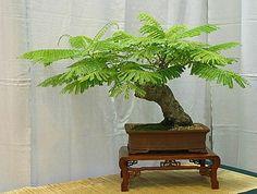 Flamboyant Tree Seeds For Sale, Flamboyant tree is an excellent selection for bonsai Bonsai Art, Bonsai Plants, Bonsai Garden, Cacti Garden, Air Plants, Cactus Plants, Bonsai Seeds, Tree Seeds, How To Grow Bonsai
