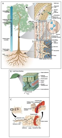Water uptake and transport in vascular plants