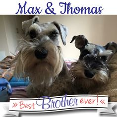 """FUN: Deborah says """"Feeling totally blessed to wake up and have these two little schnauzer faces staring at me on a Monday morning!"""" Cover boy and  founder of Schnauzer Friends Max and little brother naughty schnauzer Thomas!  #schnauzerfun #schnauzer www.schnauzerfriendsza.com"""