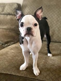 Boston Terrier Love, Boston Terriers, Terrier Puppies, Puppy Cuddles, Dog Stories, Love Your Pet, Best Dogs, Cute Dogs, Cute Animals