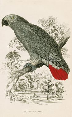 Edward Lear Parrot Prints from Natural History of Parrots 1842 Edward Lear Parrot Prints from Natural History of Parrots 1842 Vintage Illustration, Botanical Illustration, Botanical Art, Botanical Drawings, African Grey Parrot, Tier Fotos, Bird Pictures, Vintage Birds, Fauna