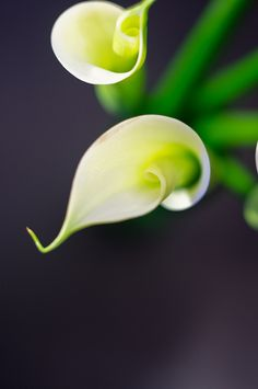 Calla Lilly- traditional for wedding or funeral/symbolizes beauty