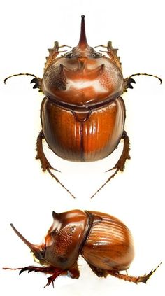 Weird Insects, Cool Insects, Bugs And Insects, Beetle Insect, Beetle Bug, Insect Art, Insect Tattoo, Cool Bugs, Beautiful Bugs