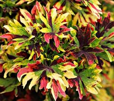 Coleus Twist and Twirl® - White Flower Farm  Developed at the University of Florida by a doctoral student and her professor, this novel variety bears clusters of twisting and twirling, deeply lobed leaves in shades of green, red, yellow, and purple. An outstanding Coleus, Twist and Twirl® has received awards across the country for top performance and best new variety. A Proven Winners® variety. 'UF03-6-1a'